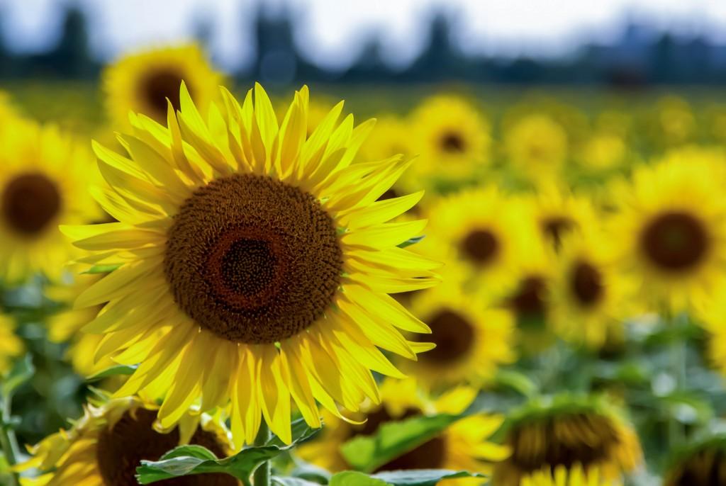 SunflowerI